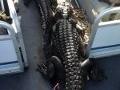 gator 01
